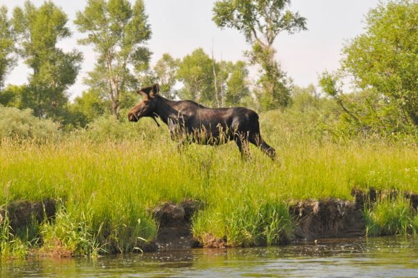 Green River Wyoming Fishing moose in the grass