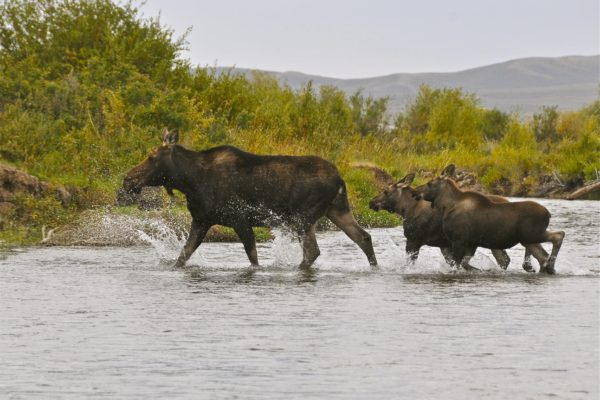 Green River Wyoming Fishing moose with baby