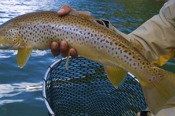 lewis lake in yellowstone trout from net